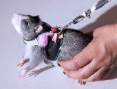Одежда для крыс. Почему нет?