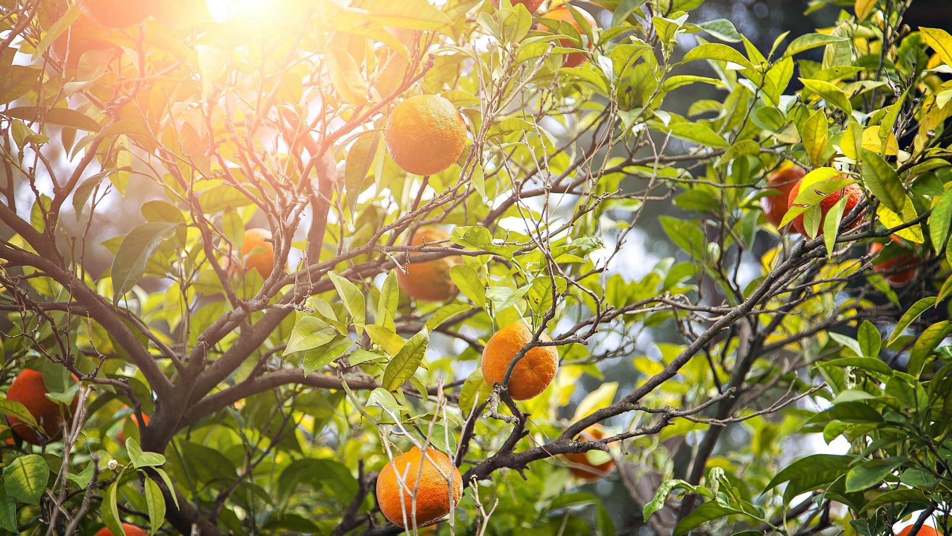 Мозаика на стене — апельсиновое дерево