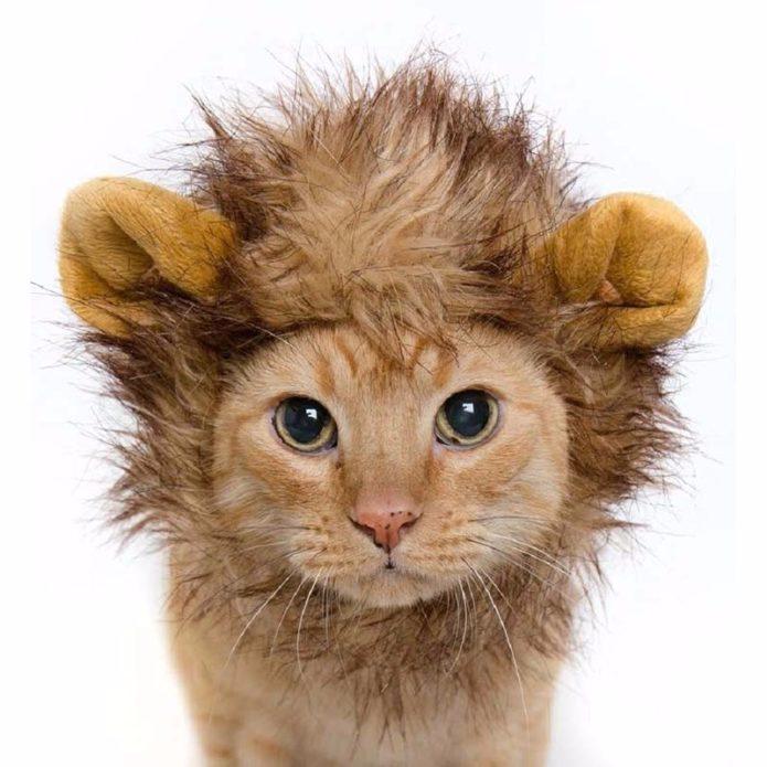 Кот в костюме льва