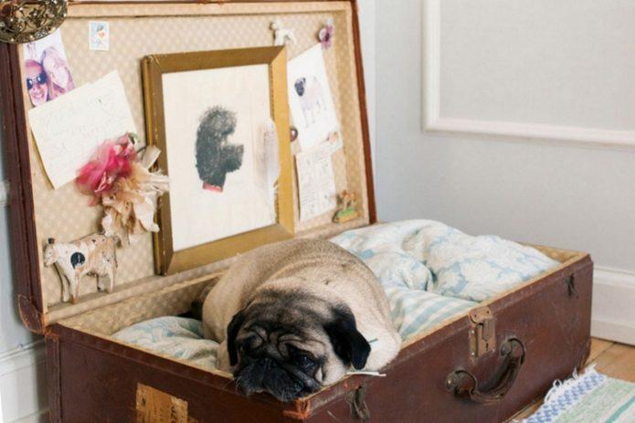 Мопс в чемодане