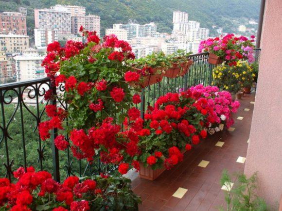 Пышная герань на большом балконе