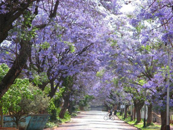 Тоннель из жакаранды в Йоханнесбурге