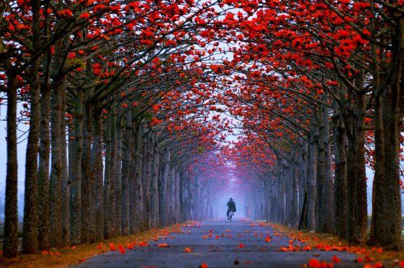 Аллея хлопковых деревьев