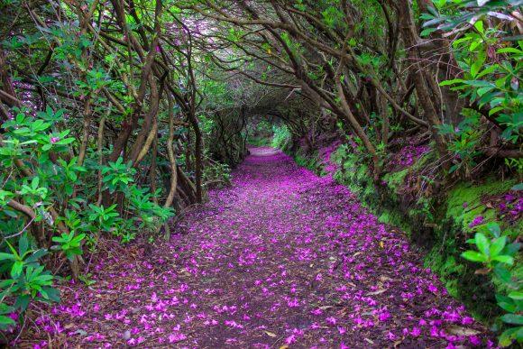 Тоннель рододендронов в Ирландии