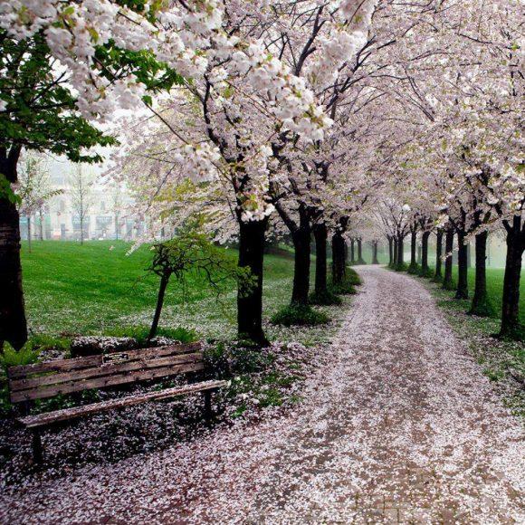 Цветущие деревья в Онтарио