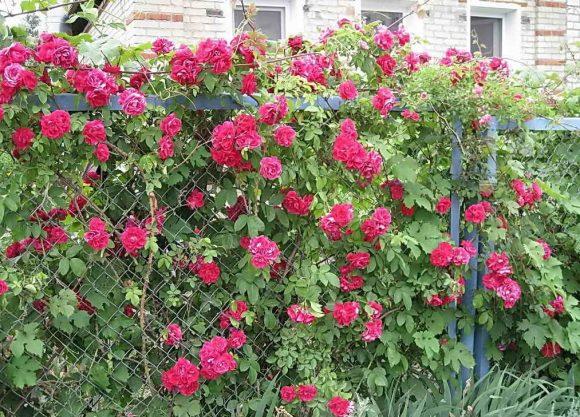Оформление плетистой розой забора из металлической сетки