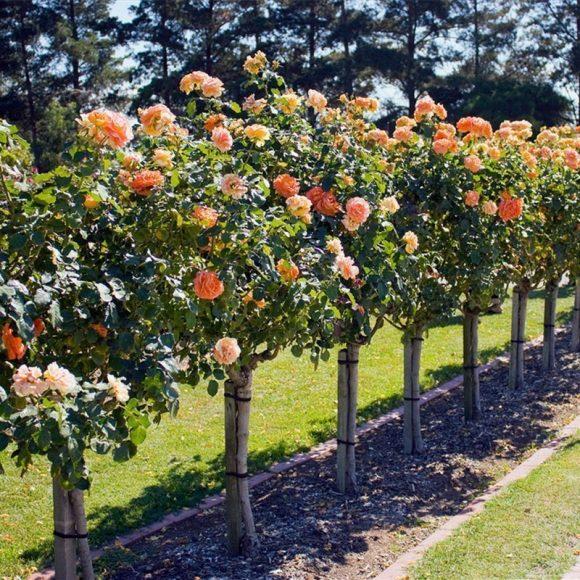 Оформление садовой дорожки штамбовыми розами