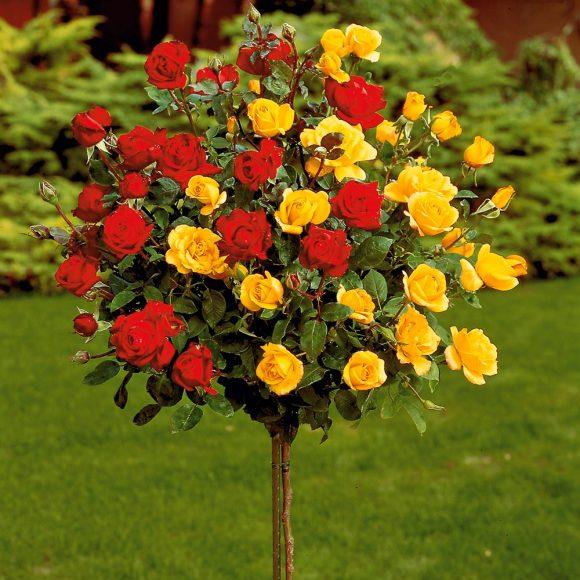 Двухцветная штамбовая роза