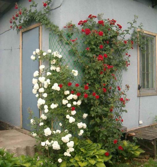 Оформление вьющимися розами угла дачного дома