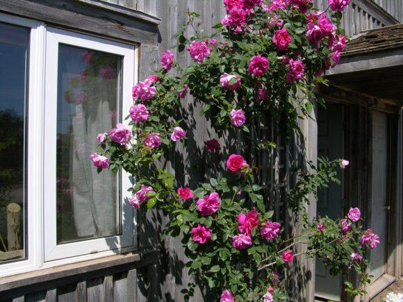Вертикальный розарий на стене дачного дома