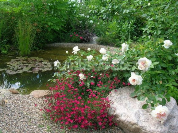 Розовый куст рядом с водоёмом