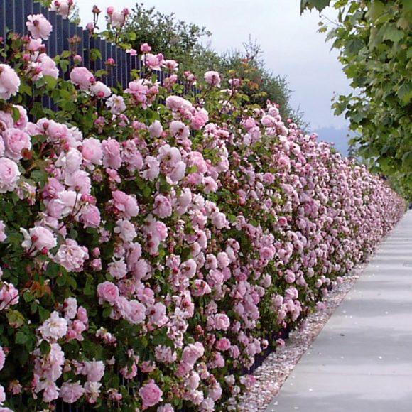 Ограда из плетистой розы