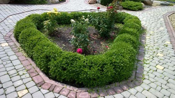 Розовая клумба с живой изгородью