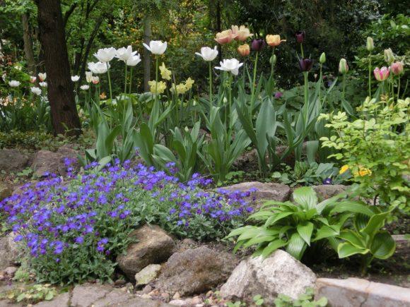 Разноцветные тюльпаны с нарциссами на альпийской горке