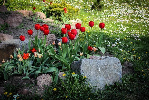 Альпийская горка с алыми тюльпанами