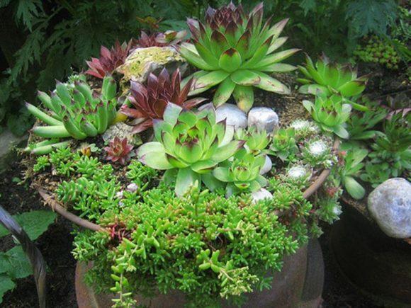 Садовый мини-рокарий с каменной розой