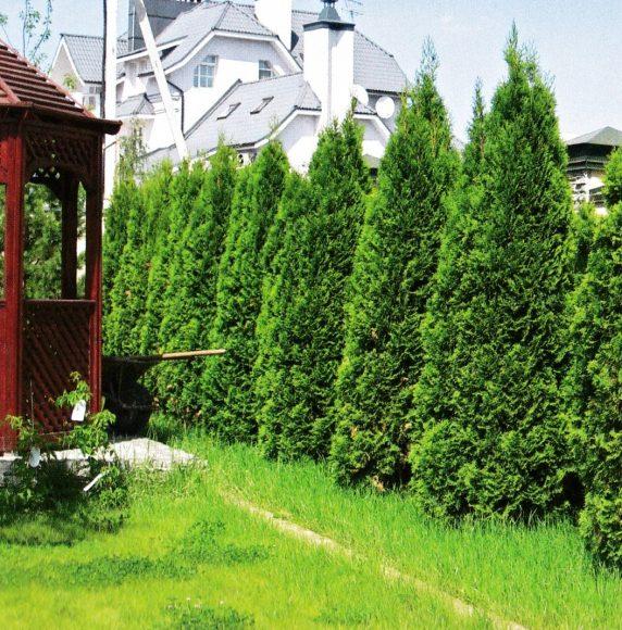 Зелёная ограда из туи