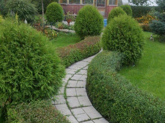 Бордюр садовой дорожки из туи и самшита