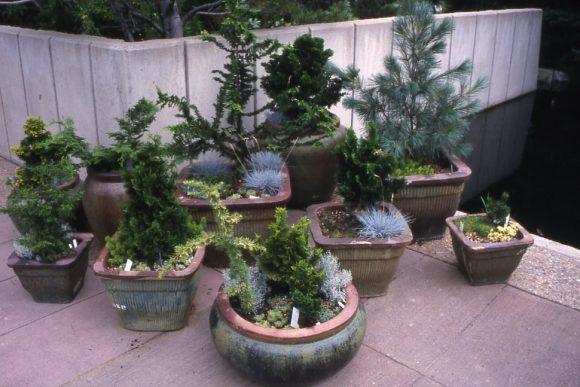 Контейнерные хвойные растения для дачного участка