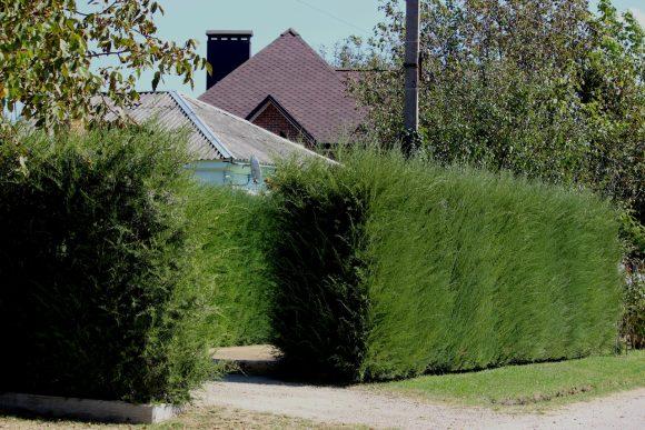 Живая изгородь из кустов можжевельника