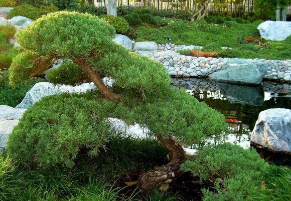 Садовый бонсай из можжевельника на берегу водоёма
