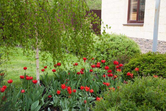Тюльпаны в обрамлении можжевельника