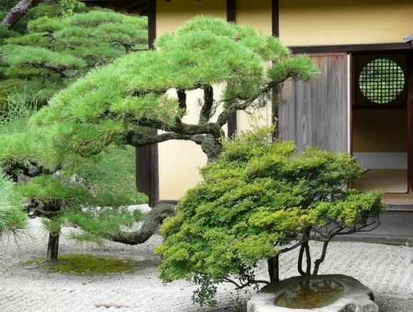 Садик в японским стиле из можжевельника и сосен