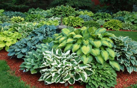 Растительная композиция из хосты