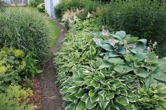 Бордюр садовой тропинки из цветущей хосты и кустарников