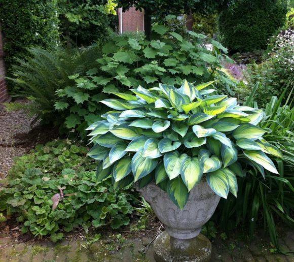 Эффектная хоста в большом садовом вазоне