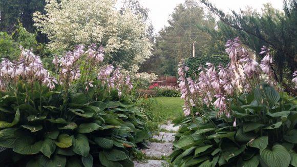 Бордюр у садовой дорожки из цветущей хосты
