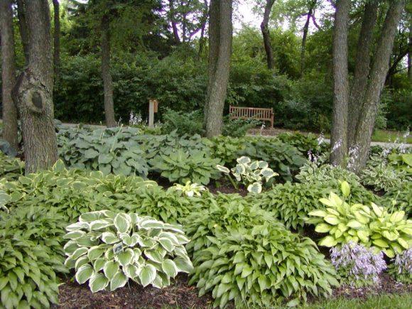 Оформление хостой тенистого уголка сада