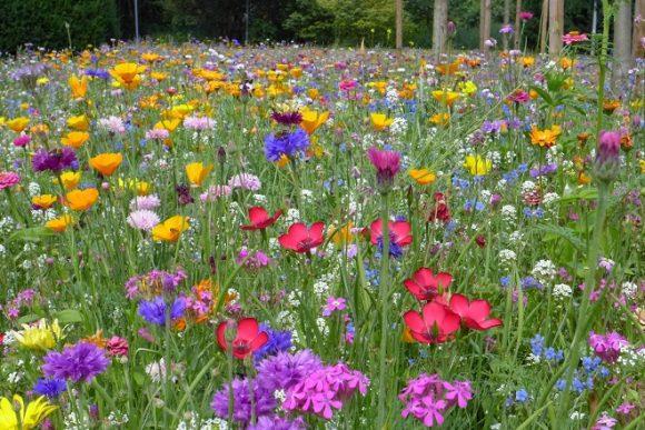 Газон из полевых цветов на участке в экостиле