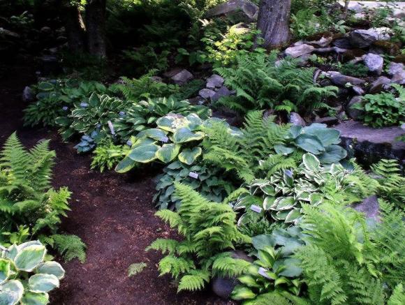 Папоротник и хоста в саду природного дизайна