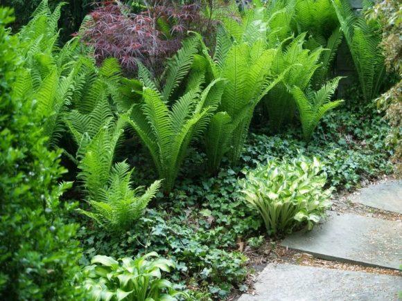 Папоротник в основании зелёного бордюра садовой дорожки