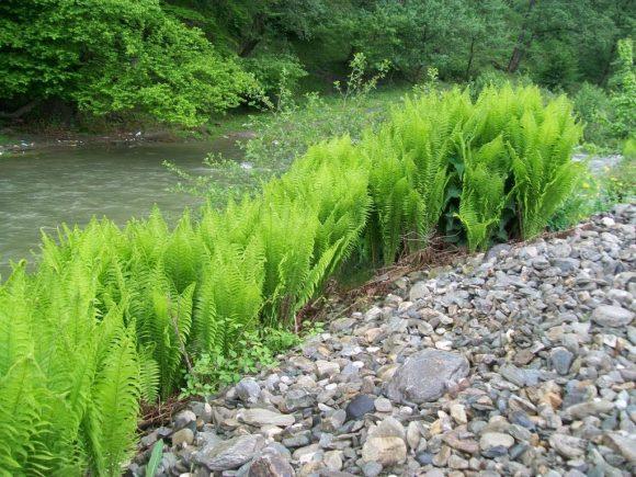 Заросли папоротника на берегу естественного дачного водоёма