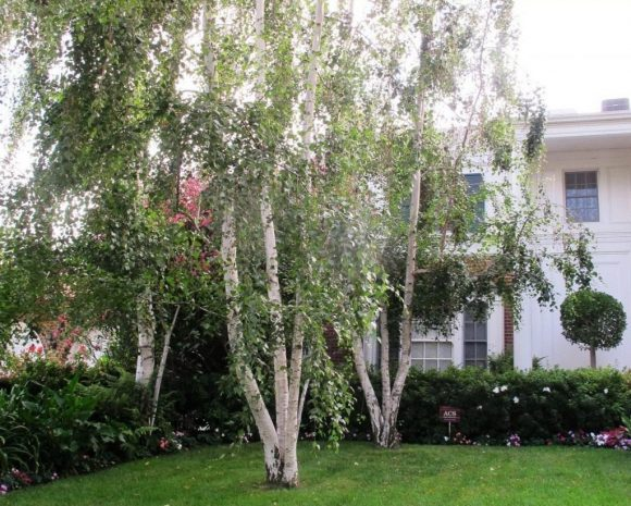 Берёзы во дворе загородного дома