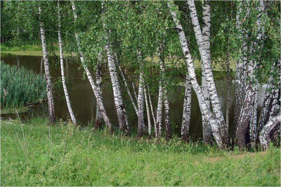 Берёзовая роща у пруда
