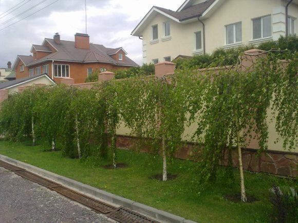 Живая изгородь из штамбовых берёз