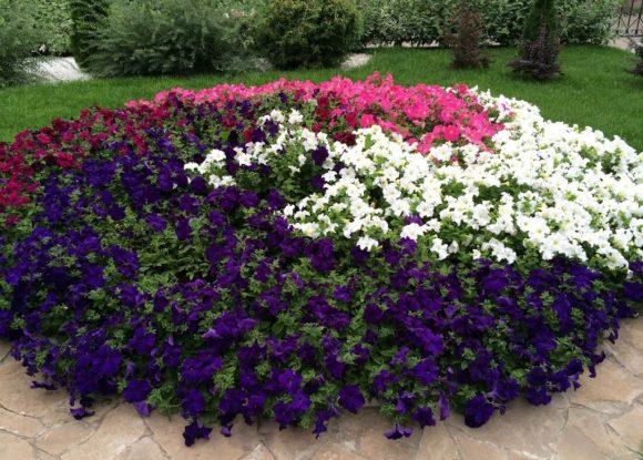 Разноцветная петуния на садовой клумбе