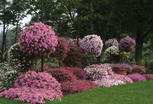Живописный садик из петунии в садовом ландшафте