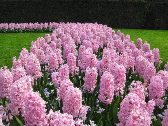 Клумба из розовых гиацинтов