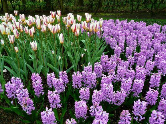 Эффектная клумба из гиацинтов и тюльпанов