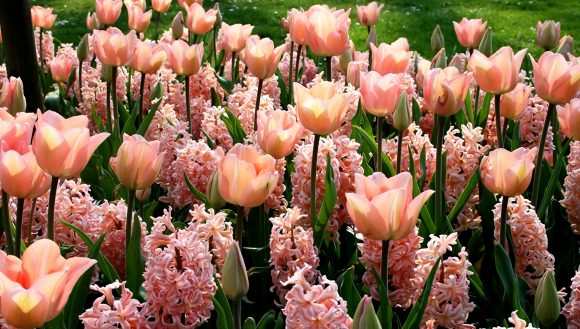 Гиацинты и тюльпаны на клумбе