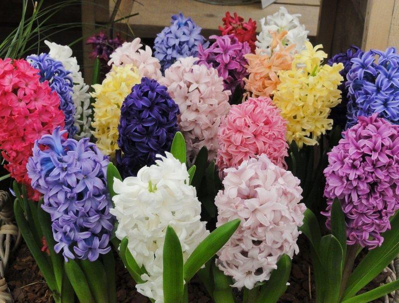 Гиацинты в ландшафтном дизайне: изысканная прелесть весеннего сада
