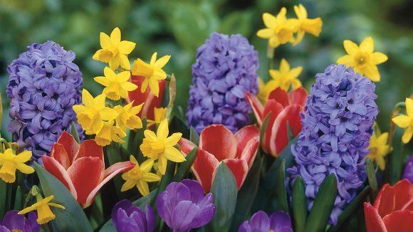 Гиацинты, нарциссы, тюльпаны, крокусы на лужайке