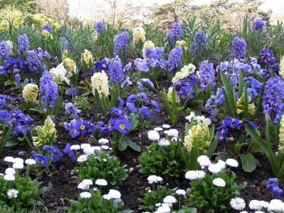Гиацинты, примула и маргаритки на садовом газоне