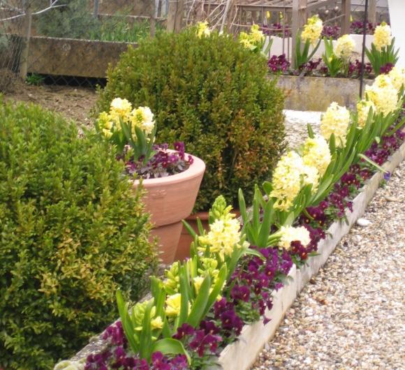 Весенний бордюр садовой дорожки из гиацинтов и примулы