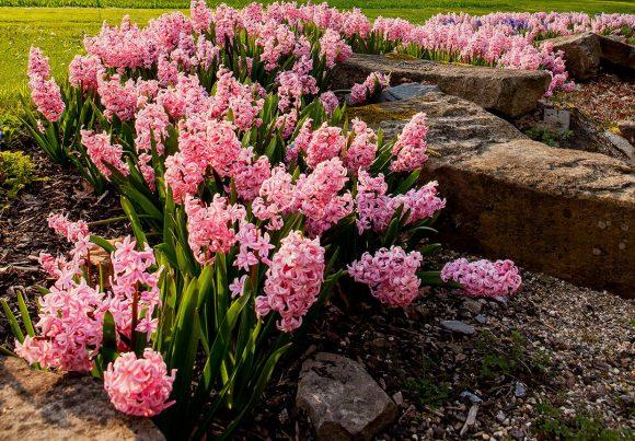 Розовый гиацинт на рокарии