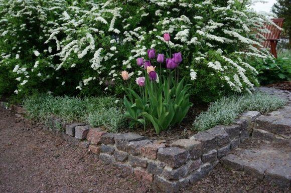 Ранняя спирея с тюльпанами